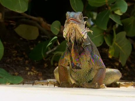 An iguana crashes the party.